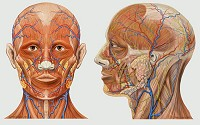 Head Anatomy - Anterior and lateral views of the human head showing arteries, veins, nerves and superficial details.